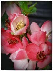 Zierquittenblüten Hanami