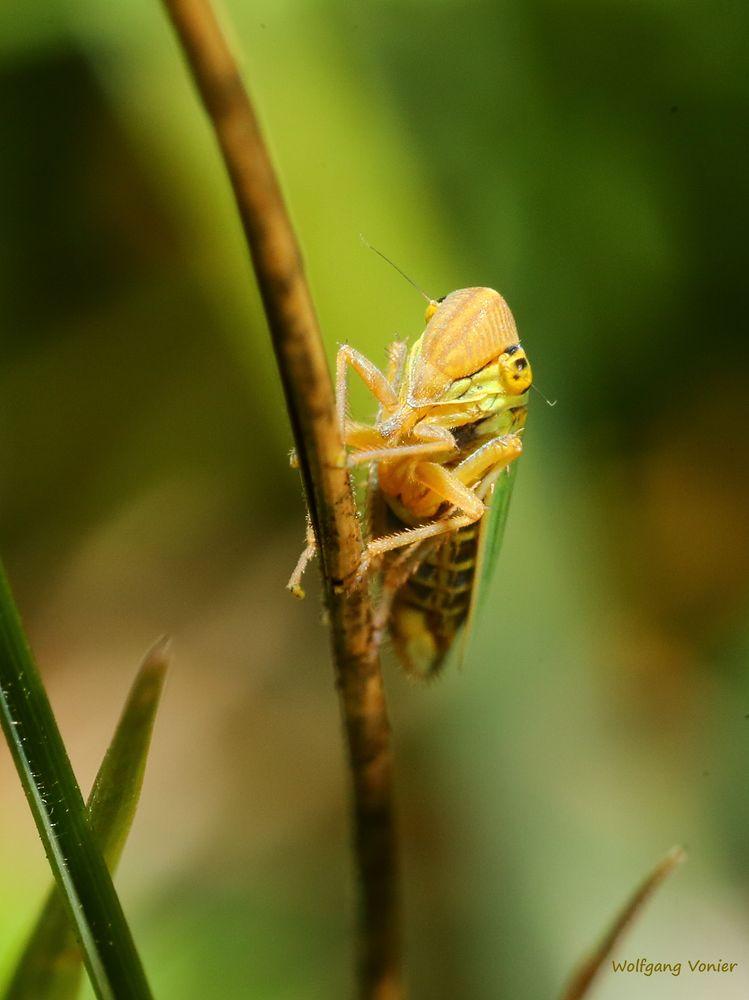 Zikade-Echte Espenwinkerzikade