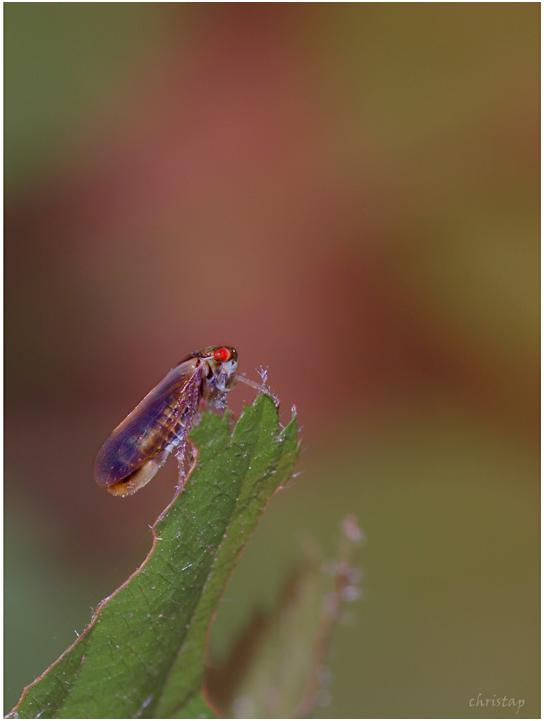 Zikaden-Ausguck
