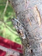 Zikaden oder Auchenorrhyncha
