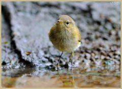 - Zilpzalp holt sich nasse Füße - ( Phyloscopus collybita )