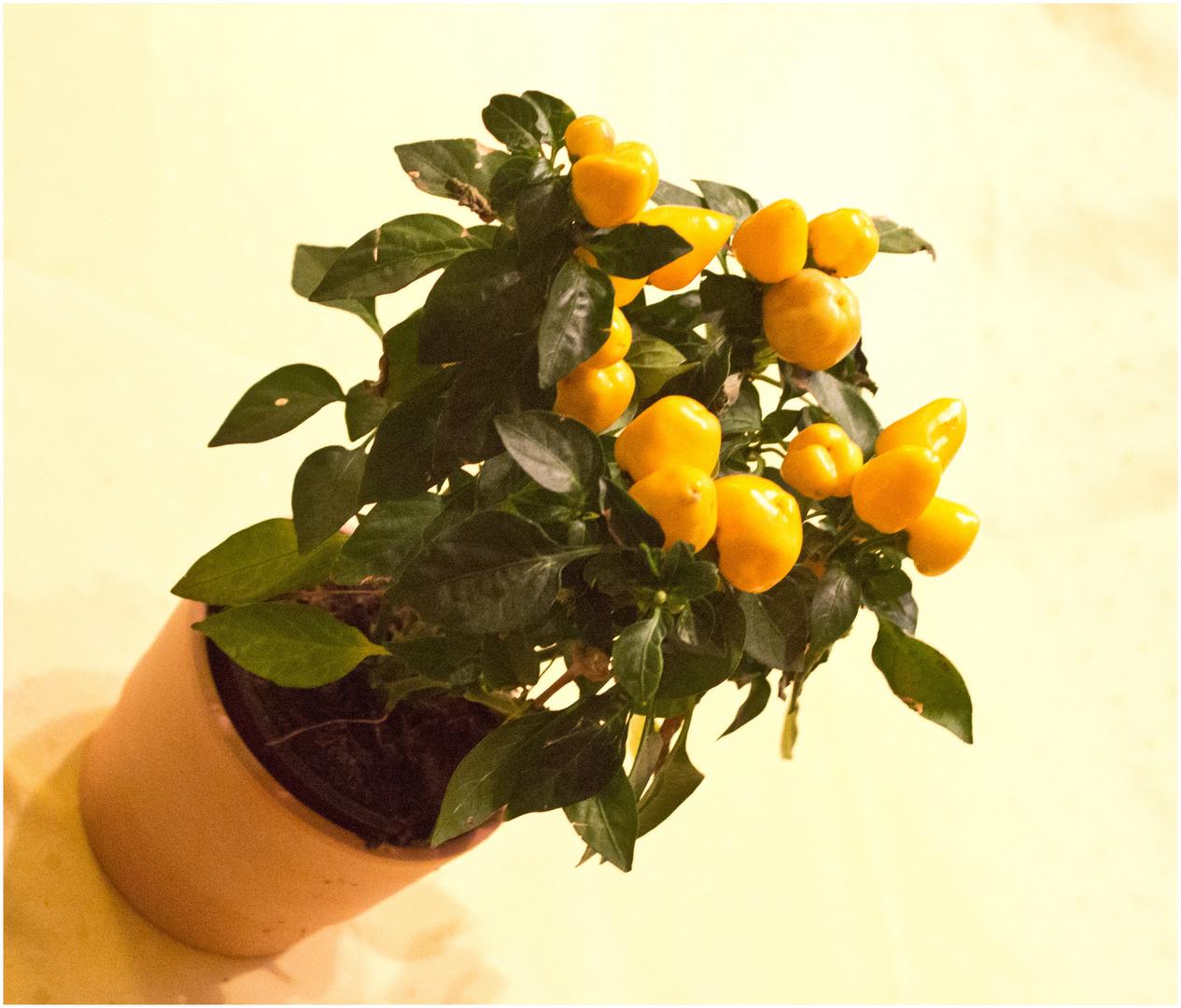 Zimmerpflanze Paprika