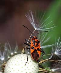Zimtwanze (Corizus hyoscyami)