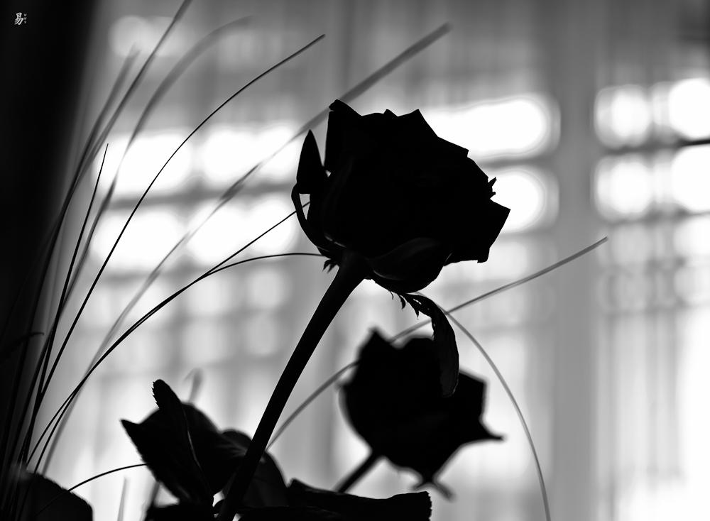 zingst-roses