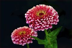 zinnia simple et multicolore ....