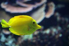 Zitronen Segelflossen Doktorfisch