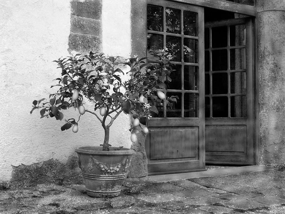 Zitronenbaum II.