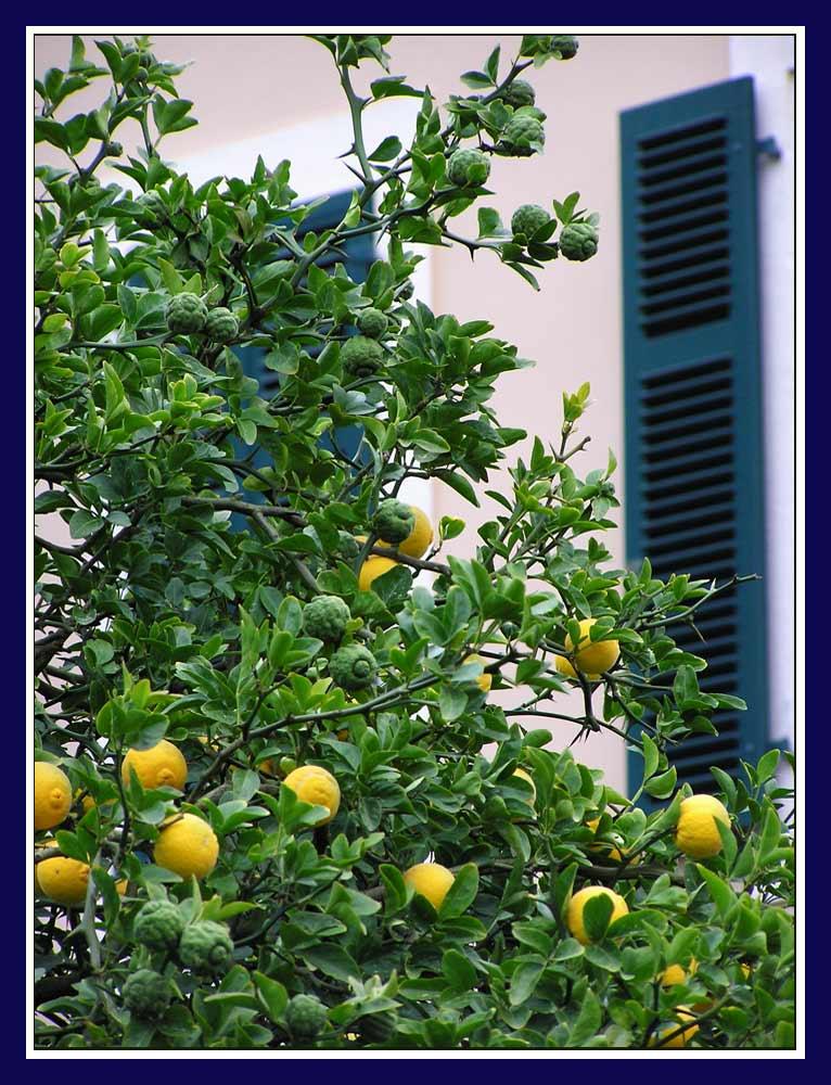 Zitronenbaum im Rheingau