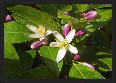 Zitronenblüten