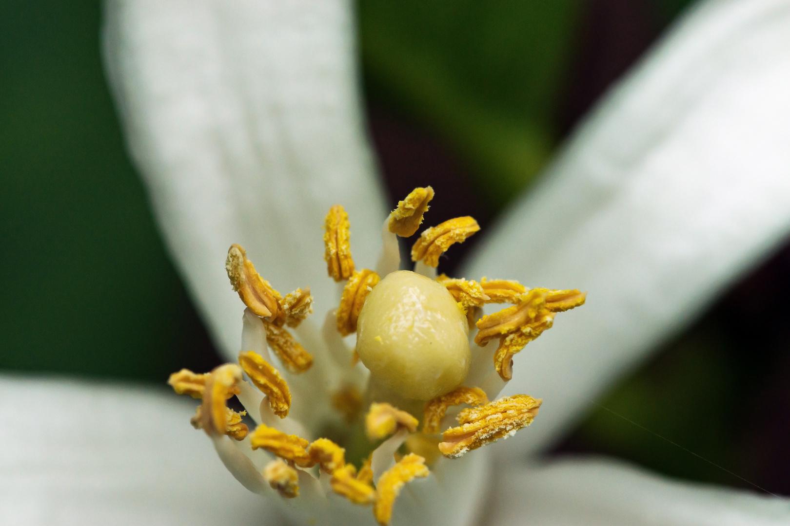 Zitronenblüten-Makro