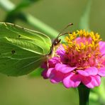 *Zitronenfalter* (Gonepteryx rhamni)