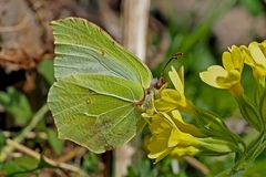 Zitronenfalter (Gonepteryx rhamni) - Le Citron.