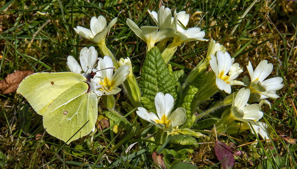 Zitronenfalter im Frühlingsrausch