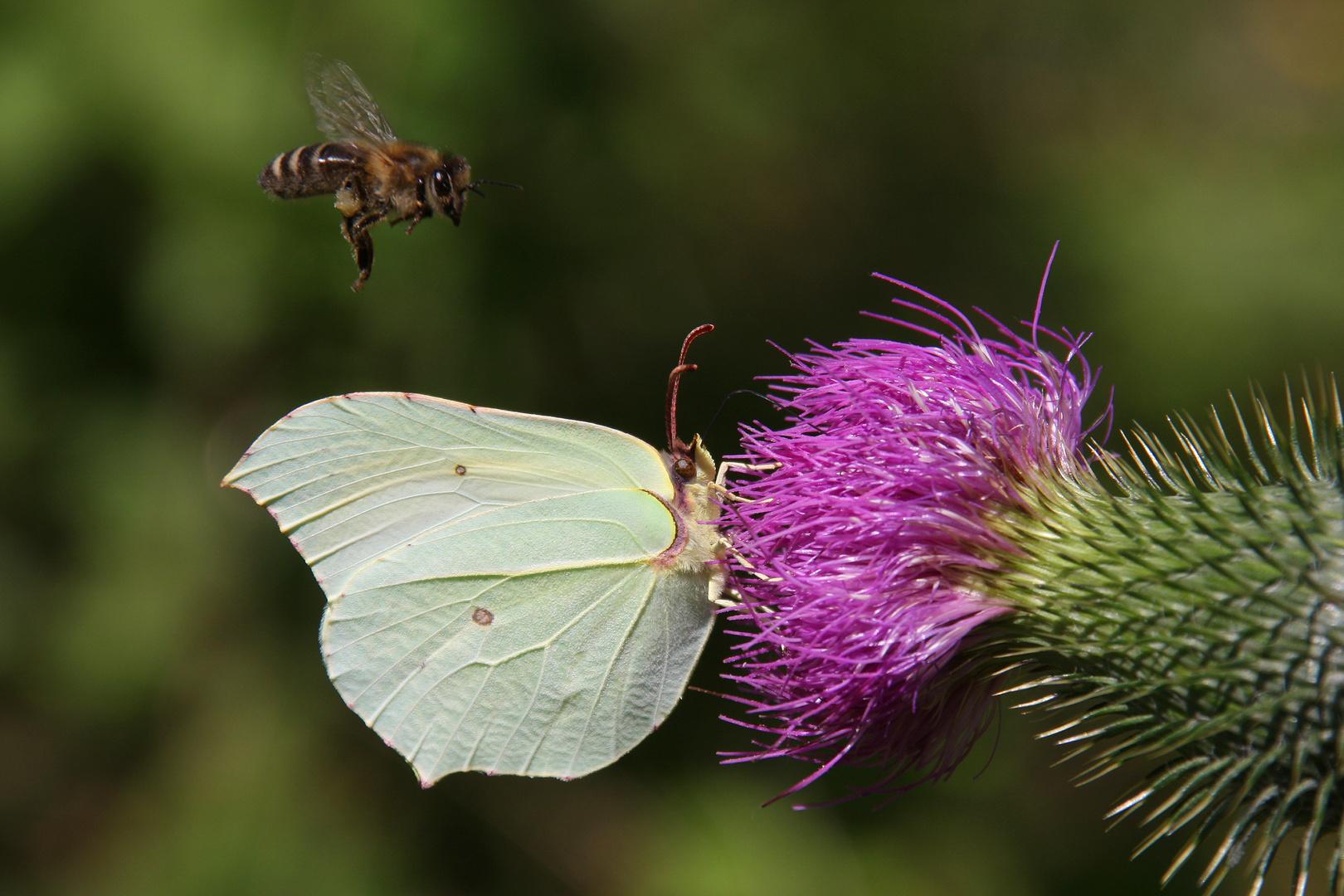 Zitronenfalter oder Brimstone (Gonepteryx rhamni)