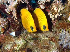 Zitronenfalterfisch