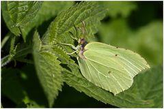 Zitronenfalter,w (Gonepteryx rhamni)