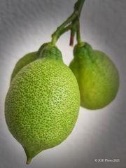 Zitronenfrüchte vom Zitronenbaum