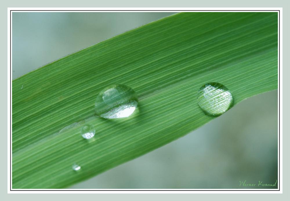 Zitronengras mit Wassertropfen - Grün ist die Hoffnung, liebe Buddies...