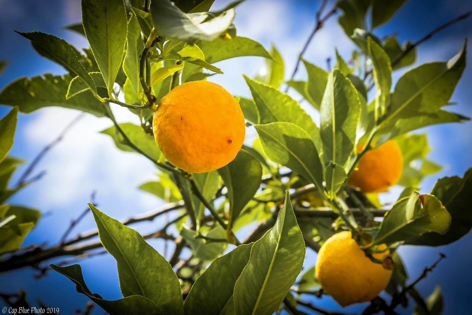 Zitrusfrüchte in Apollona