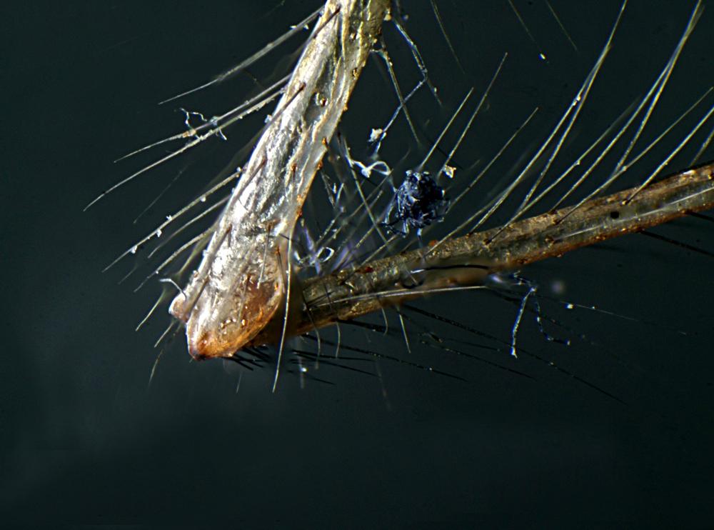 Zitterspinnenbein