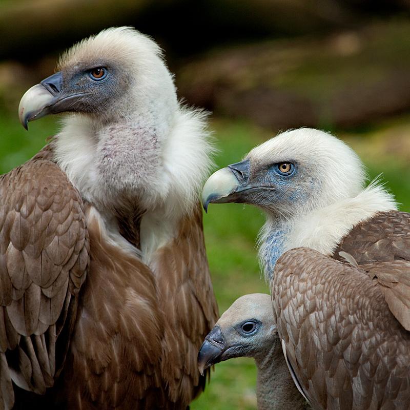 Zoo Duisburg - Tierfotografie - Gänsegeier mit Nachwuchs