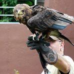 Zoo Köln - Adler beim Start -