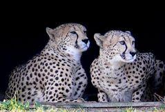 Zoo Köln - Geparden Nelson und Matata