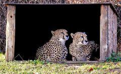 Zoo Köln - Geparden Nelson und Matata (Original)