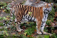 Zoo Köln - Sibirischer Tiger Altai