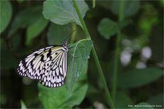 Zoo Krefeld .... Weiße-Baumnymphe-Idea-leuconoe