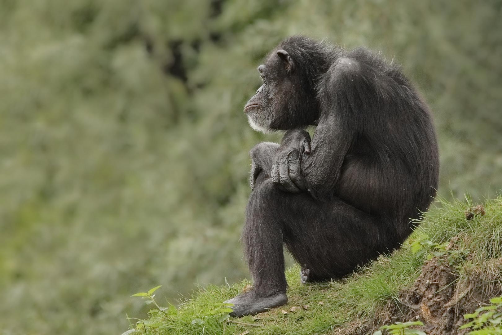 Zoom Schimpanse
