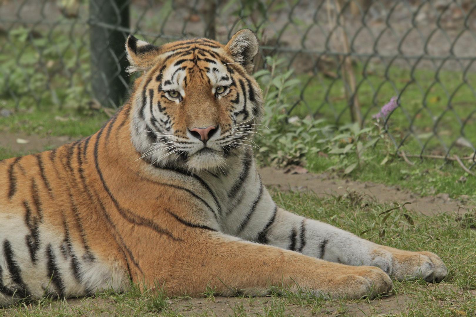 Zoom Tiger