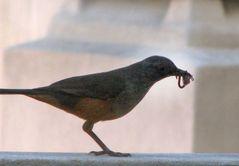 Zorzal Trae comida para los pichones - Thrush Bring food for pigeons