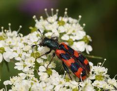 Zottiger Bienenkäfer-Trichodes alvearius