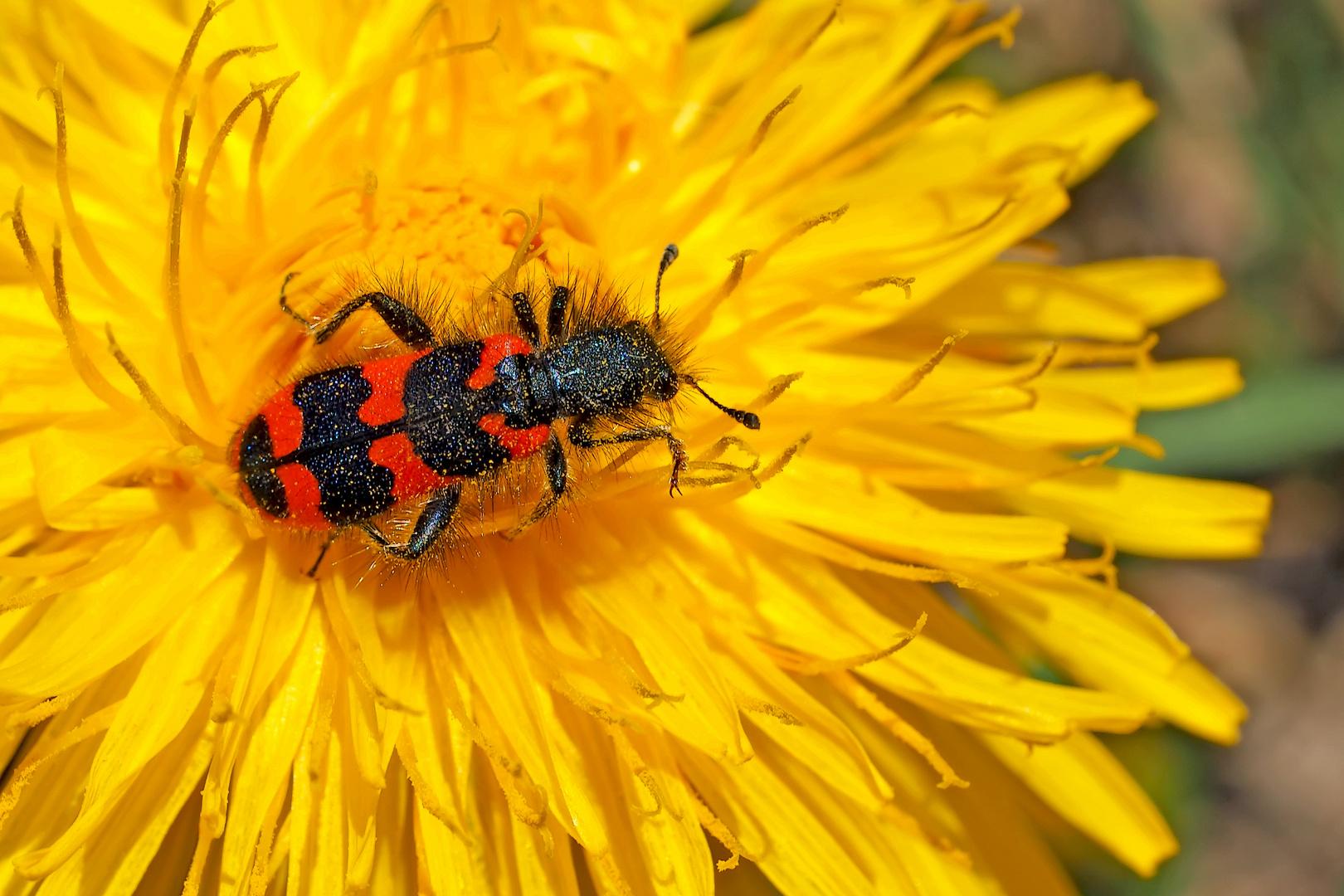 Zottiger Bienenkäfer (Trichodes alvearius) - Trichode des ruches ou clairon.