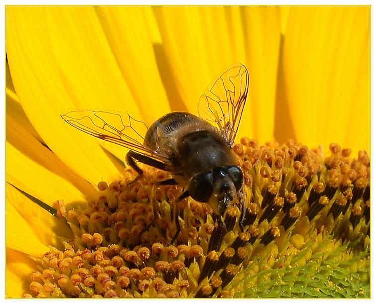 Zu Besuch auf der Sonnenblume