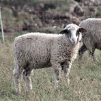 zu Besuch bei den Schafen 5