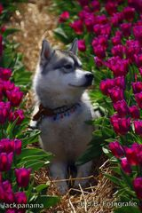 Zu Besuch in den Tulpenfeldern (1)