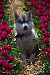 Zu Besuch in den Tulpenfeldern
