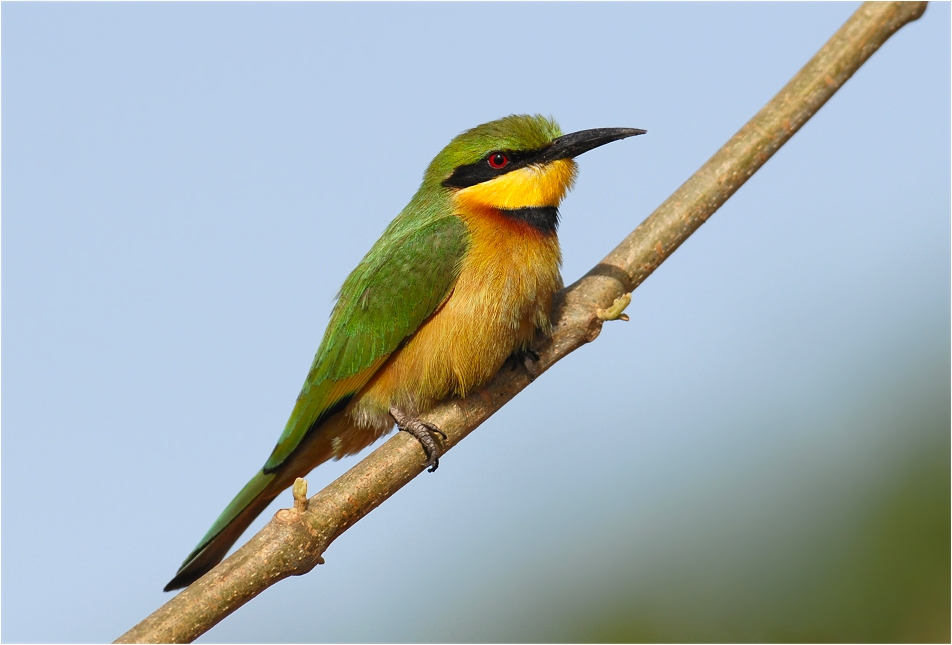 Zu den hübschesten und farbenprächtigsten Vögeln...