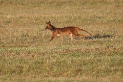 ZU FRÜH GEFREUT - armes Tier der Fuchs hier