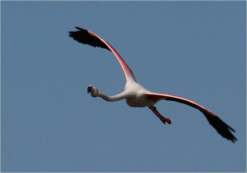 Zu lächeln schien dieser Flamingo...