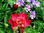 """Zu Pfingsten die """"Rose"""" ... (Paeonia 'Nippon Beauty')"""