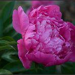 Zu Pfingsten eine Rose.....