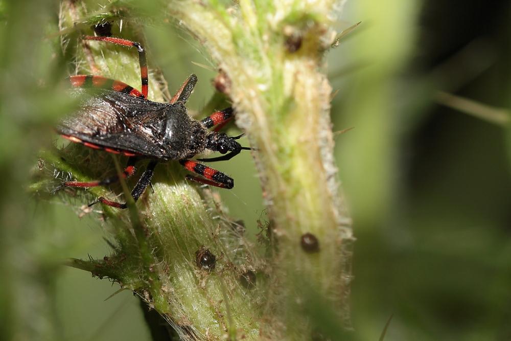 zu Raubwanzen (Reduviidae) gehörende, Dettingen a.d.Erms, Biosphärengebiet Schw. Alb