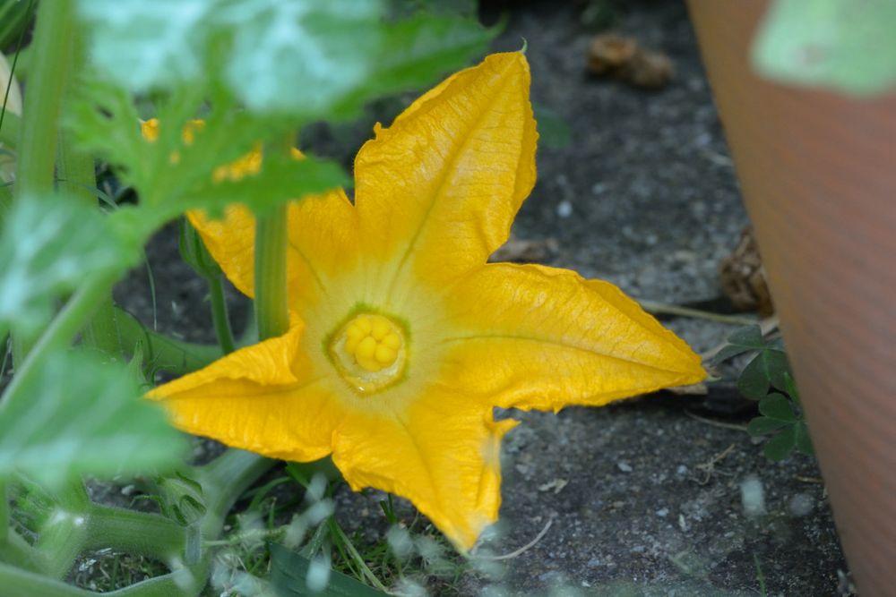 Zucchini-Blüte