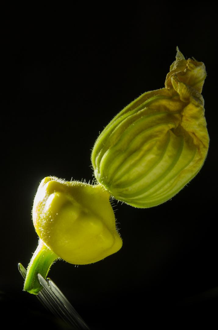 Zucchiniblüte