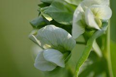 Zuckererbse Blüten