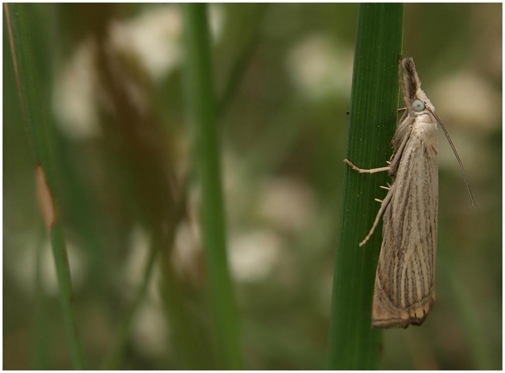 Zünsler - Chrysoteuchia culmella