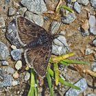 Zünsler der Gattung Metaxmeste (schrankiana oder phrygialis) * - Papillon de nuit de la montagne.
